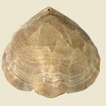 Cretirhynchia limbata, Ob. Kreide (Maastricht), Nasilow, Polen, B=28mm