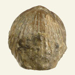 Trigonirhynchia stricklandii, Unt. Karbon, Crawfordville, Oklahoma, L=28mm