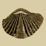 Mucrospirifer mucronatus, Mittl. Devon, Sylvania, Ohio (pyritisiert)