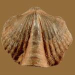 Mucrospirifer albanensis rotundus, Mittl. Devon, Albany River, Hudson Platform, Nord-Ontario, Kanada
