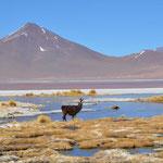 Ein einsames Lama an der Laguna Colorada