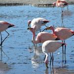 Hunderte von Flamingos tummeln sich an den Lagunen