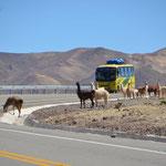 Lamas haben Vorfahrt