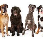 Stoere, mooie honden op de foto. kunnen getraind worden door Hondenschool Jottem uit de Rijp