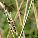 Der Scheckhorn-Distelbock (Agapanthia villosoviridescens) wird auch Linienhalsige Halmbock genannt und ca. 20 mm groß.