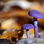 Violetter Lacktrichterling Herbst 2013