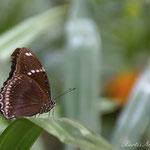 Euploea core - Thailand 2014