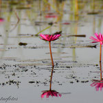 See der Lotusblüten. Nähe Udon Thani / Thailand März 2014