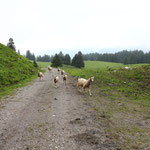 noch mehr Ziegen...die haben wir Nala zuliebe weggeschickt