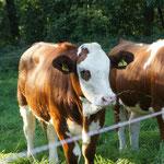Kühe sind immer sehr interessiert an Nala...