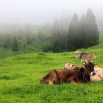 Kühe en masse