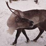 Bild 20-390 - Das Haustier des Nordens