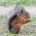 Eichhörnchen an der Sommerresidenz Peterhof