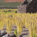 Quinoa ( Hirseart )