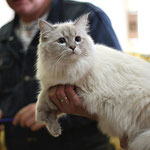 Невская маскарадная кошка Вишня снежная Зима