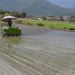 Mise en rizière des plantons de riz