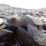 one of our first hatchling dashed to the sea