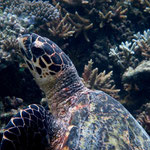 Adult hawksbill turtle resting at corals