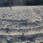 car tracks at the nesting beach