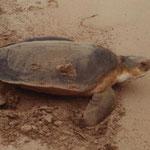 Eine adulte Flachrückenschildkröte am Weg zurück ins Meer