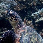 Eine adulte Eretmochelys imbricata auf Korallen rastend