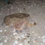 Eine adule Unechte Karettschildkröte am Weg zurück ins Meer nach der Eiablage