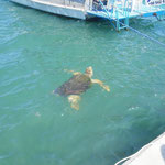 resident turtle at the harbour