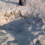 Das Nest einer Chhelonia mydas am Strand von Yaniklar
