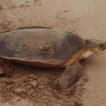 Adult flatback turtle at the beach
