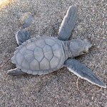 Ein Chelonia mydas Hatchling gerade aus dem Nest am Strand von Yaniklar kommend. Diese Meeresschildkrötenart kommt nur sehr selten an diesen Strand zum nisten.