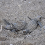 hatching loggerhead turtles