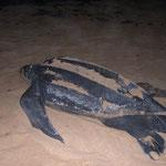 Lederschildkröte am Weg ins Meer nach der Eiablage