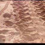 Zum Vergleich: Die Spur eines Hatchlings links und einer adulten Flachrückenschildkröte rechts