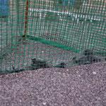 Geschlüpfte Hatchlinge im Schutzkorb