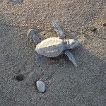 Frisch geschlüpfter Hatchling am Weg ins Meer