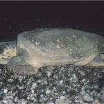 adultes Caretta caretta Weibchen