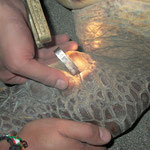 Meeresschildkröten wird mit einem Metalltag markiert