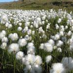Wollgrass! Ich liebe Wollgras!