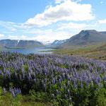Alaskalupinen in den Westfjorden