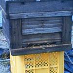 ミツバチさんに手伝っていただきます。