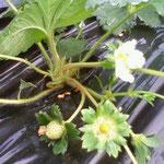 花から約1カ月で真っ赤ないちごに!!