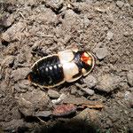 Lucihormetica subcincta Männchen
