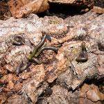 Anadenobolus monilicornis NZ