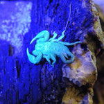 fluoreszierender Euscorpius italicus