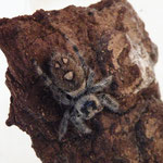Phidippus regius Weibchen