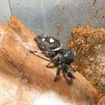 Phidippus regius Männchen