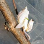 0.1 Orchideenmantis Hymenopus coronatus subadult