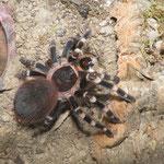 1.0 Acanthoscurria geniculata beim Fressen einer Totenkopfschabe