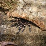 1.0 Acanthoscurria geniculata