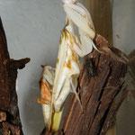 1,1 Hymeopus coronatus